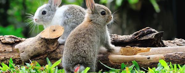 deux lapins nains